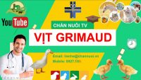 Giống vịt Grimaud